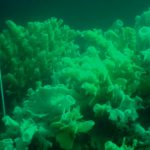 Divers Can Now Help Protect Fragile Glass Sponge Reefs