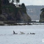 Getting the Killer Whale Call