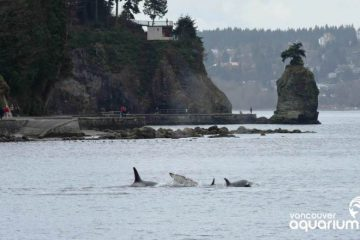 Killer whales off the coast of Vancouver