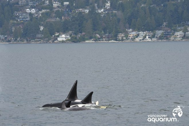 Killer whales in Burrard Inlet Vancouver