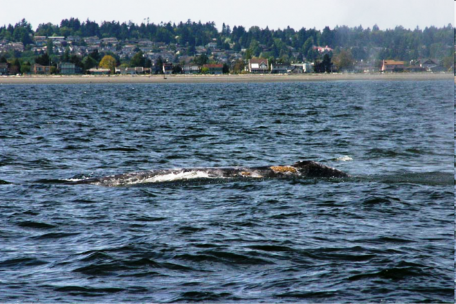 Grey whale sightings on the B.C. Coast