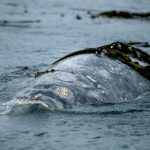 Here Come the Grey Whales