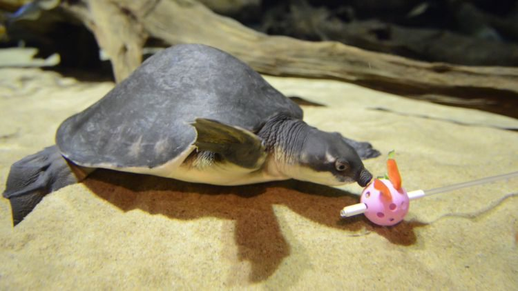 The pig-nosed turtle starts to associate a pink Wiffle ball with food.