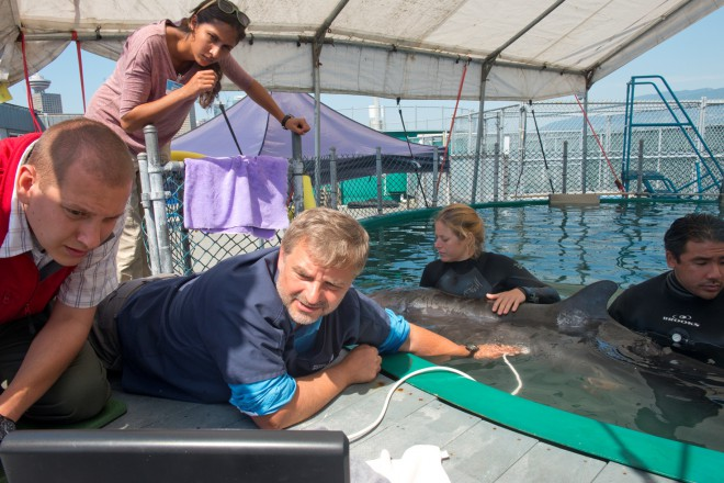 Chester, rescued false killer whale