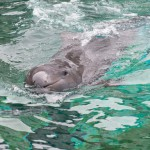 Vancouver Aquarium to Provide Long-Term Care to False Killer Whale Chester