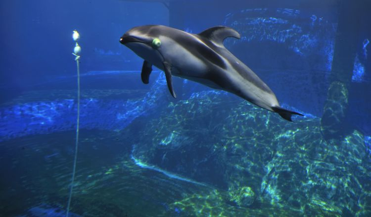 A dolphin wearing gel eyecups avoids a rope using echolocation.