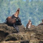 Marine Debris Continues to Inflict Injury on B.C.'s Sea Lions