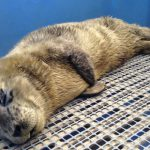 "Meet ""Lionel Messi"", First Rescued Seal Pup of 2015"