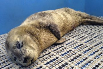 Marine Mammal Rescue Seal Pup