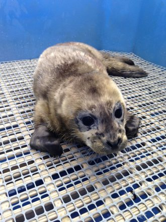 Seal pup rescue at Vancouver Aquarium