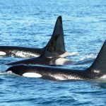Killer Whale Culture: From Matrilines to Mating Rituals
