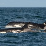 Killer Whale Sam Spotted Alive and Well with His Family