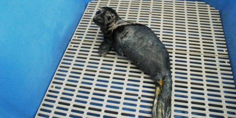 Seal pup Rescue Centre Vancouver Aquarium