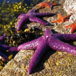 Sea Star Die-Off a Dire Situation