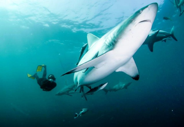 Shark conservation and research
