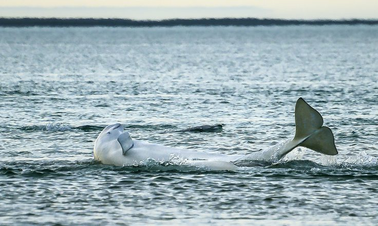 Vancouver Aquarium Beluga research in the Arctic