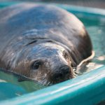 Injured Sea Otter Rescued and Under Care at Rescue Centre