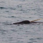 Narwhal Research 2015: First Whale Sightings