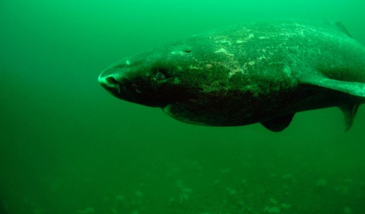 Scientists don't know much about the elusive Greenland shark. Photo © Jeffrey Gallant | GEERG.ca