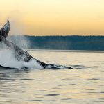 Keep a Lookout For Whale Sightings this Fall