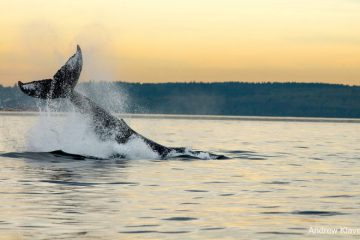 B.C. Cetacean Sightings Network