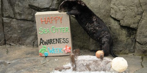 Sea Otter Awareness Week at the Vancouver Aquarium