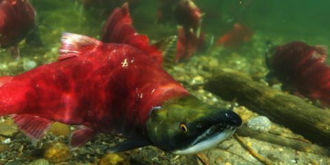 Impact of climate change on salmon