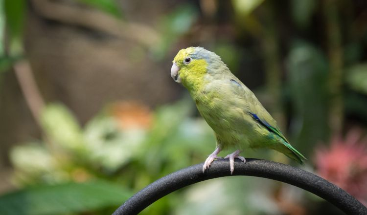 One of the two Pacific parrotlets. They're relatively quieter than the other birds.