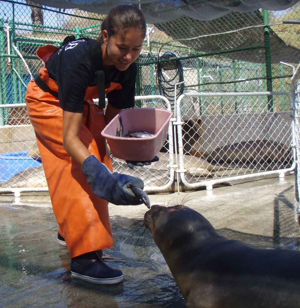 Karisa feeds an elephant seal at a rehabilitation centre prior to starting at the Vancouver Aquarium.