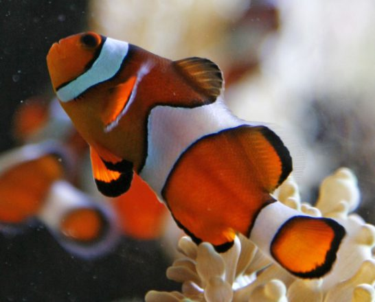 Clown anemonefish have colouration similar to harlequin tuskfish.