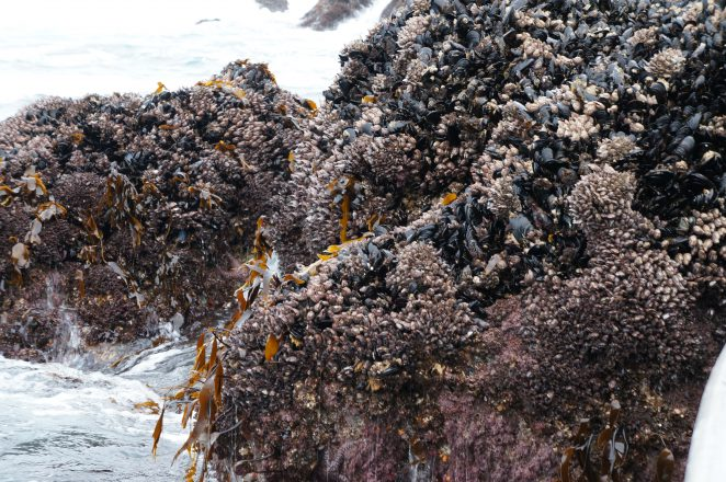 Close-up of gooseneck banarcles as they are found in Tofino, B.C. Photo credit: Charlene Chiang.