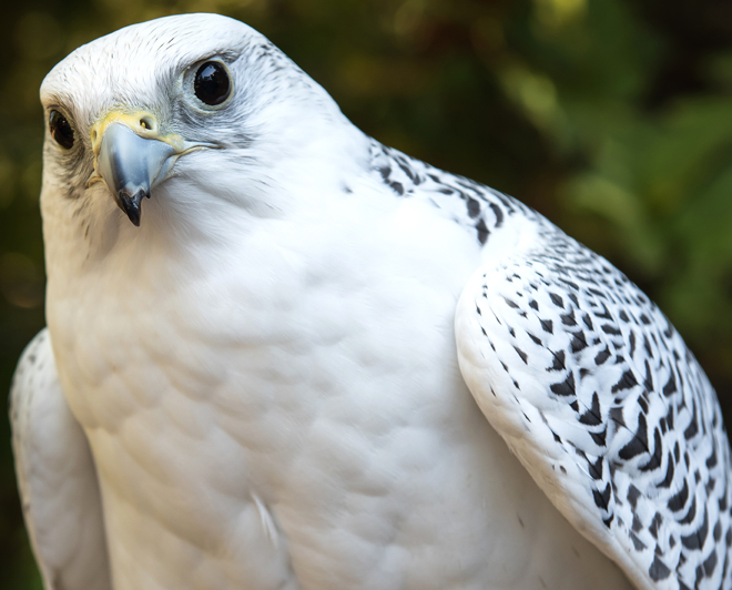 Gyrfalcon are a top avian predator in the Arctic, yet their food source has been limited by climate change.