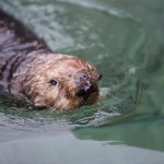 A Sea Otter Celebration