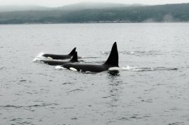 Creating a lasting connection by adopting a wild killer whale.