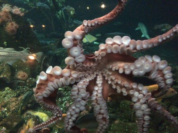 Anne-Julie has sent Ryan more than 44 photos of Aquarium animals, like this giant Pacific octopus.
