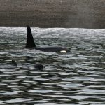 The Sound of Culture — Killer Whale Style