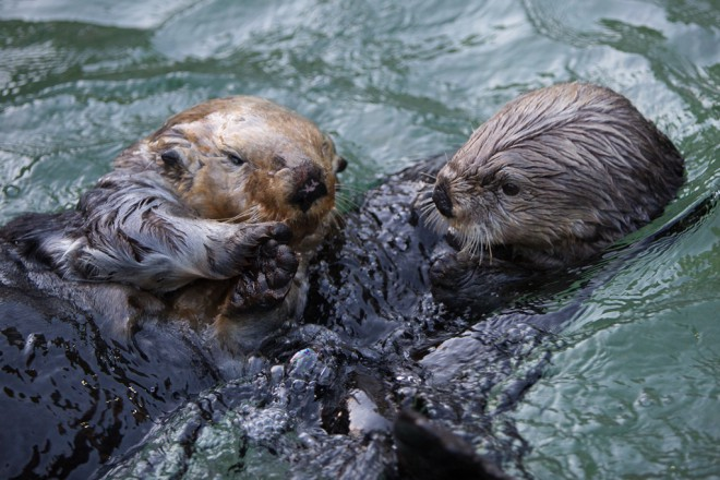 Wally and Tanu meet for the first time in our otter habitat.