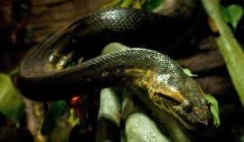 The green anaconda is one of the largest snakes in the world.