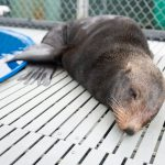 Rare Guadalupe Fur Seal Saved in Joint Rescue