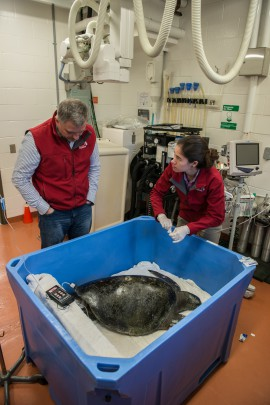 Dr. Martin Haulena and Vancouver Aquarium veterinarian fellow Karisa Tang care for the rescued turtle.