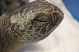 Green sea turtles occasionally ride warmer currents northward into colder B.C. waters.