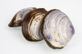 Delicious Savoury Clams are one of over 500 Ocean Wise recommended products available from Seacore Seafood Inc. Credit: Seacore Seafood Inc.