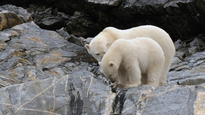 Some populations of polar bears appear to be benefiting from climate change, while others are struggling.