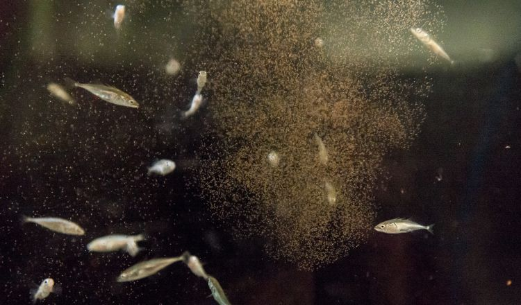 A cloud of brine shrimp before they're eaten up by young fish.
