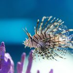 Learning to Love Lionfish — For Dinner!