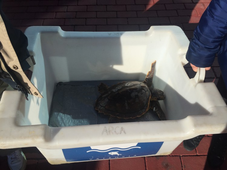 A rehabilitated loggerhead turtle is prepared for release.