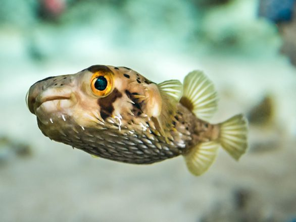 See the longspined porcupinefish in the Aquarium's Tropic Zone.