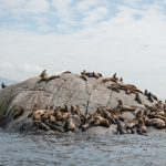 White Islet Steller Sea Lion Disentanglement