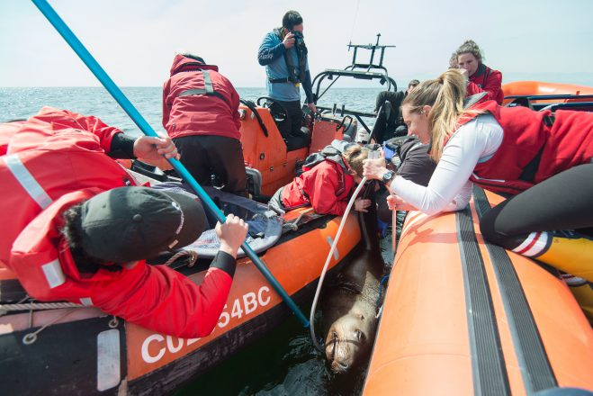 The rescue team removing the packing strap from the Steller sea lion's neck.