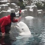 An Update on Beluga Whales